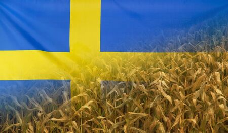 merged: Nutrition food concept corn field in sunny afternoon light merged with fabric flag of Sweden