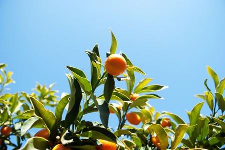 qumquat