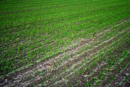 field sown