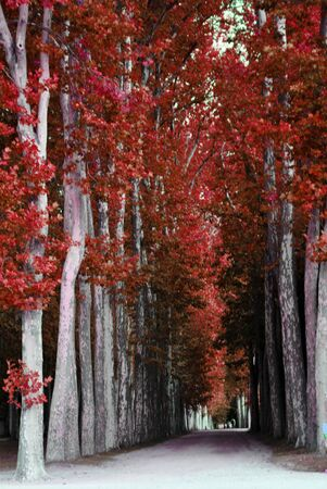 vertical garden: avenue of trees with red leaves Stock Photo