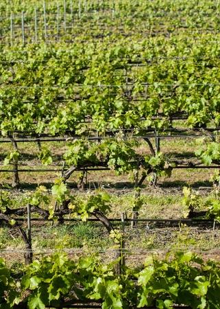 vineyard in Bolgheri, Tuscany