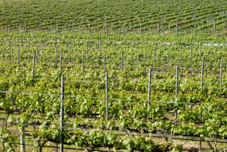 vineyard in Tuscany, in the campaign of Bolgheri photo