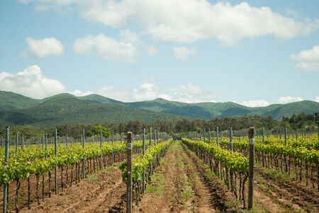 vineyard in Tuscany in a sunny day