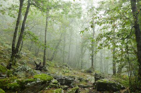 undergrowth: fog in the forest