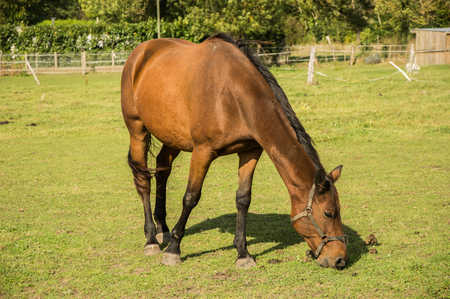 horse eats grass in the paddock