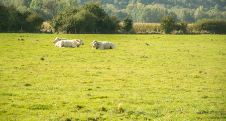 Cows resting in a field Stock Photo