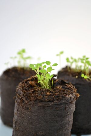 briquettes: Closeup of three turf briquettes with small flower plants Stock Photo