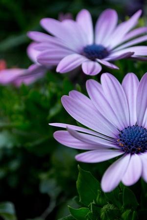 Lovely purple Cape Daisy in my flower pot photo