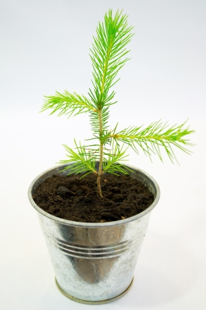 Small spruce seedling in a tin pot photo