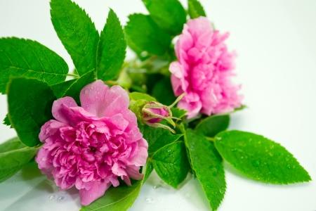 majalis: Light pink Rosa majalis roseTornedal