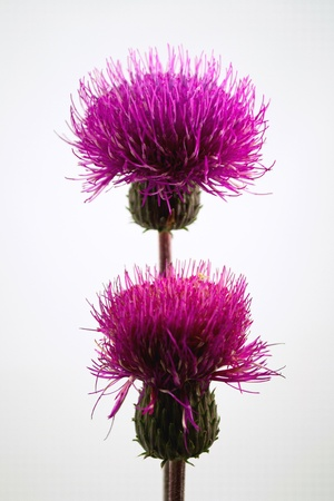 Closeup of two purple field thistles Stock Photo - 14827199