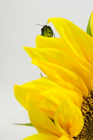 A green shield bug on the sunflower petal photo