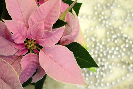 pink pearl: Pink poinsettia Christmas star flower with silver pearls ornaments in background