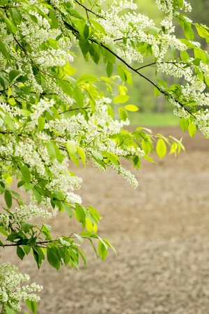 arable land: Rain wet flowering bird cherry tree with arable land in background Stock Photo