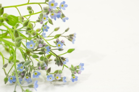 A bouquet of tiny Forget me not flowers, the background is a white table photo