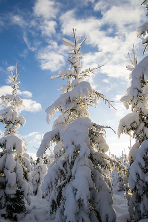 Beautiful snow covered fir tree forest and blue sky with clouds Stock Photo - 25318347