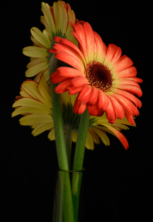Bouquet of red yellow gerberas in vase black background photo