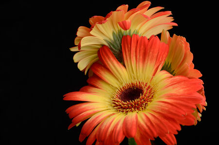 duo tone: Bouquet of red yellow gerberas in vase black background