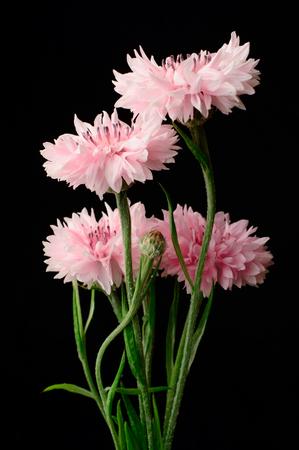 unpretentious: Pink Cornflowers still life black background Stock Photo