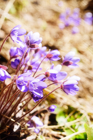 nobilis: Small group of sunbathing Hepatica nobilis flowers. Fragile and beautiful flower. Layers and texture effects. First ground flora in early spring. Blue and purple colors.  Sloping forest hillside. Vertikal. Stock Photo