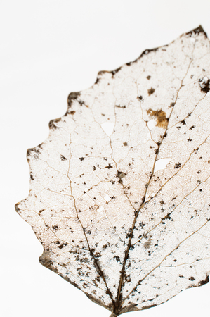 Very decayed leaf close up abstract, white background.