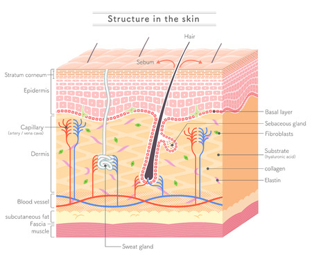 Structure in the skin English notation 向量圖像