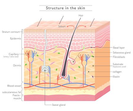 Structuur in de huid Engelse notatie Vector Illustratie