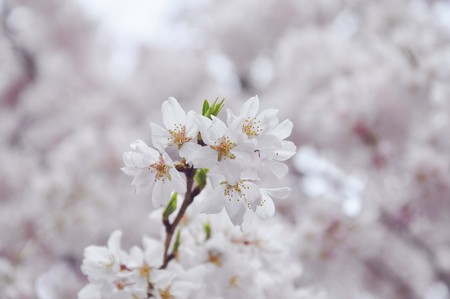Single sakura in full blossom