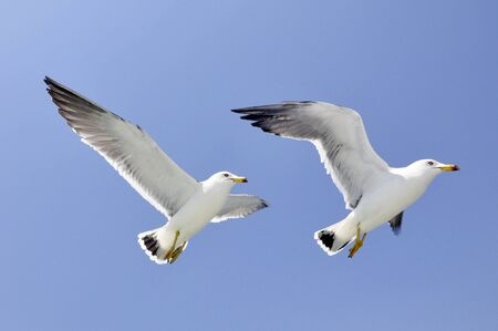 Pair of seagulls flying Stock Photo