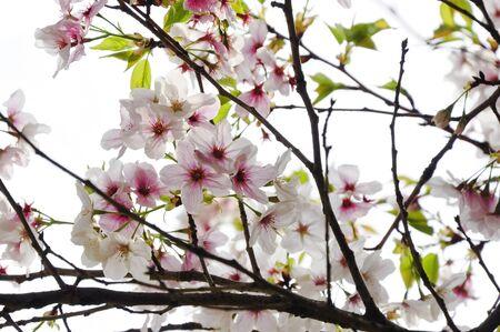 Sakura blossom in Japan