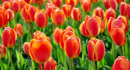 Red and yellow tulips Stock Photo - 7678547