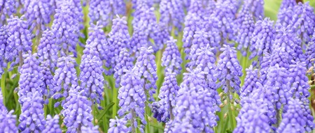 Purple muscari Stock Photo - 7678539