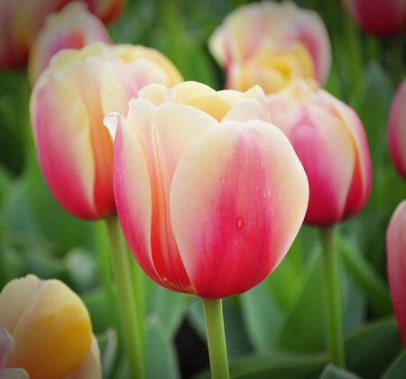 Pink tulips on bokeh photo