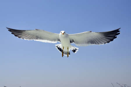 Seagulls with its full stretch wings photo
