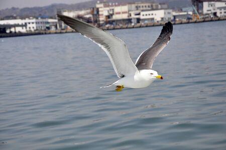 Seagulls flying elegantly Stock Photo