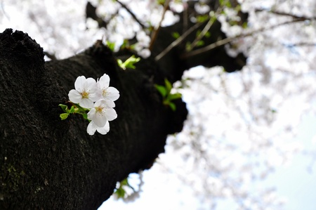 Cherry blossom on a tree trunk photo