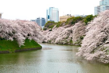Cherry blossom sightseeing
