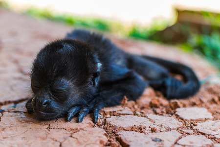 Spider monkey baby sleeping.