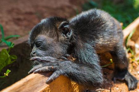 Spider monkey baby sleeping.