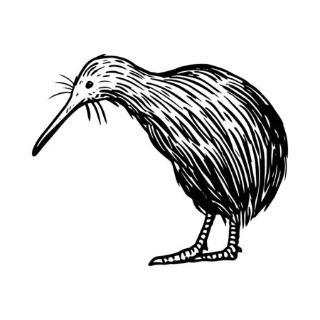 Hand drawn kiwi bird, Native bird o f New Zealand, Vector Illustration