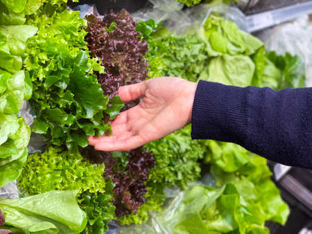 Close up woman's hand choosing fresh lettuce in supermarket.