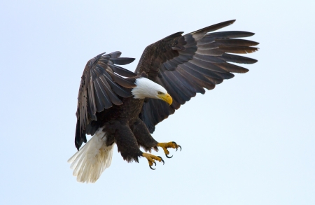 A bald eagle about to land Stock Photo