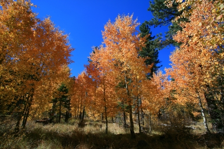 Aspen trees in fall near Lake Tahoe in California photo