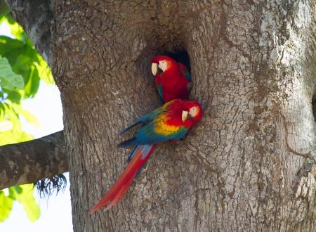 중첩 주홍 마코 앵무새의이 쌍 그들은 삶에 대한 메이트 코스타리카의 카라라 국립 공원 지역에서 볼 수 있었다