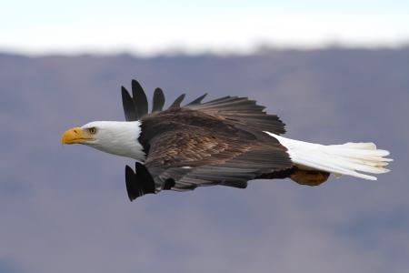 aguila calva: Una calva americana águila en vuelo sin motor Foto tomada en el nivel del ojo Cuenca Klamath en California