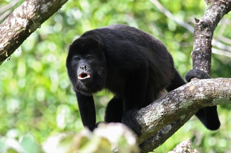 howler: An adult black Howler monkey on a tree howling at Costa Rica