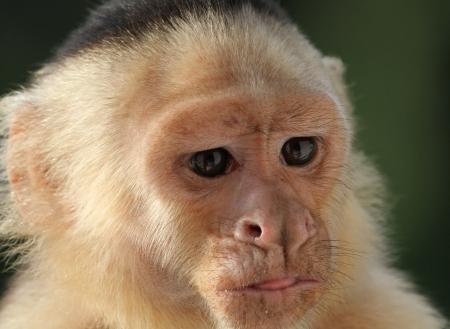 코스타리카에서 깊은 생각에 생각 화이트 직면 카푸 친 원숭이의 근접 스톡 콘텐츠