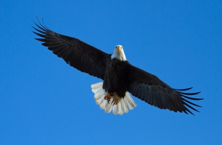 spread eagle: A Bald eagle is flying overhead with tail spread  Taken at the Klamath Basin Wildlife Refuges Stock Photo