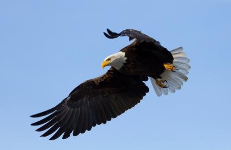calvo: Un águila calva con las alas extendidas, a punto de la tierra tomada en la cuenca del Klamath Refugios de Vida Silvestre Foto de archivo