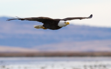 A Bald eagle flying above a lake